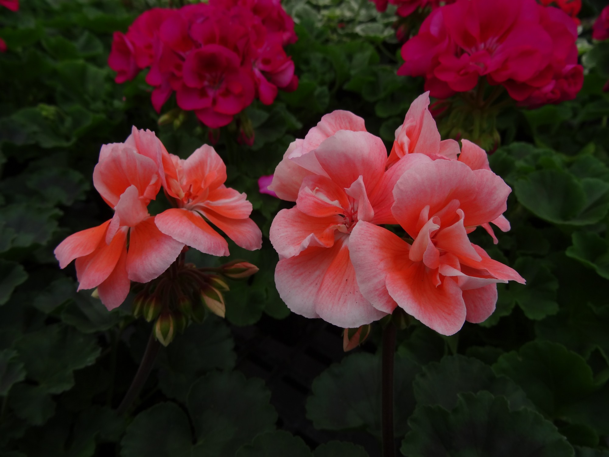 Moonlight Light Salmon Geranium | Ryeland Gardens