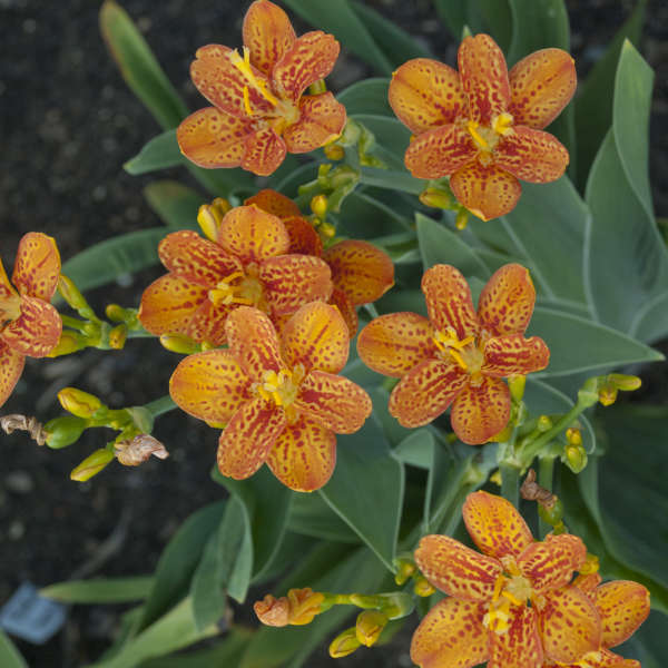 Freckle Face Blackberry Lily | Ryeland Gardens