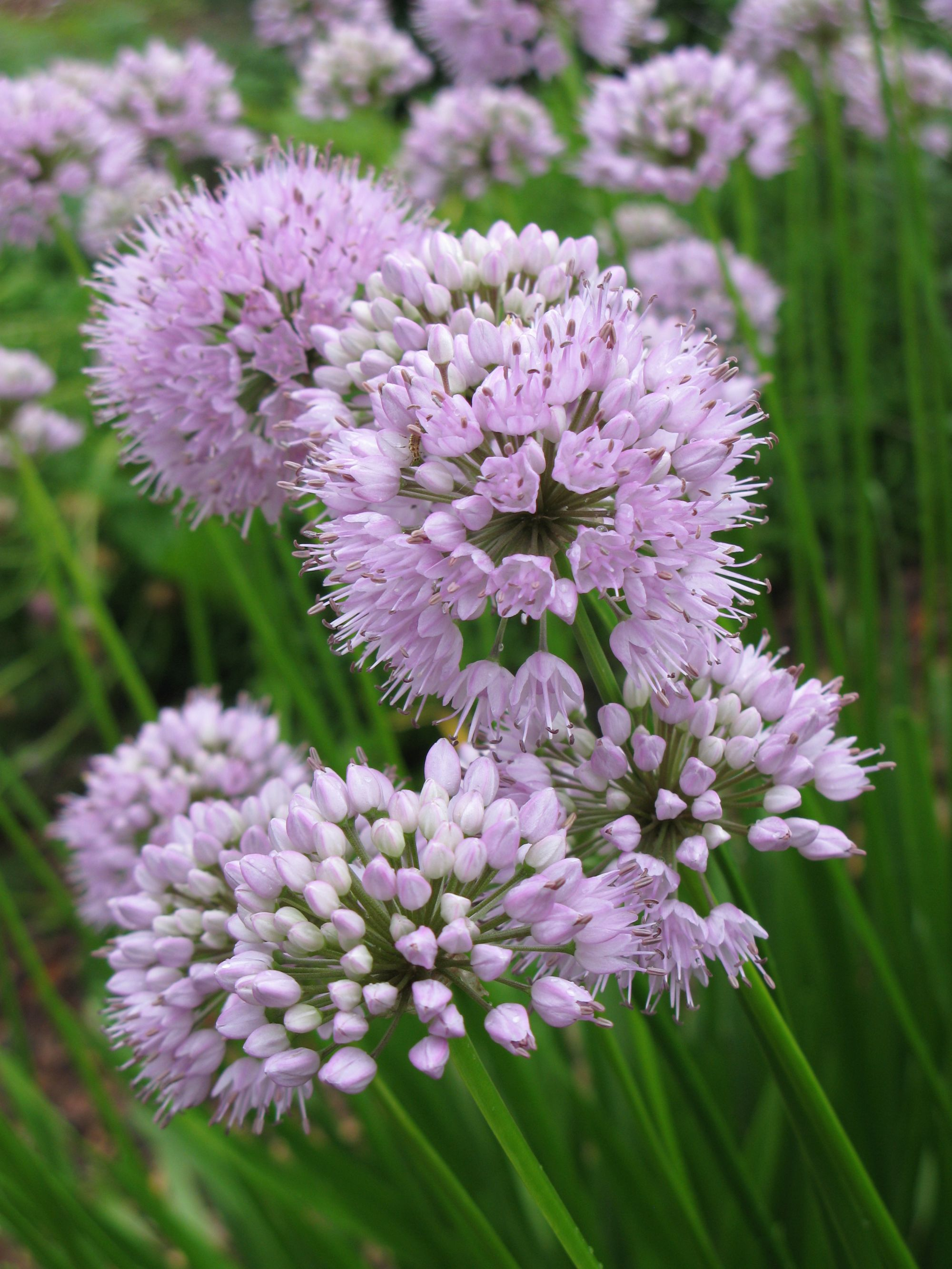 Summer Beauty Ornamental Onion | Ryeland Gardens