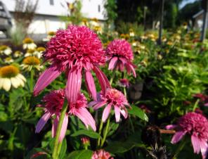 Pink Double Delight Coneflower | Ryeland Gardens