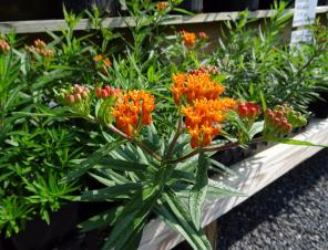 Butterfly Weed | Ryeland Gardens
