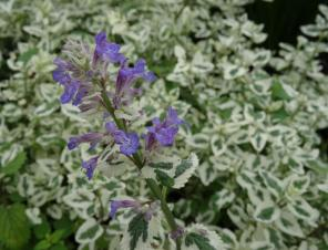 Angel's Wings Catmint