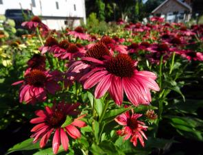 Butterfly™ Peacock Coneflower