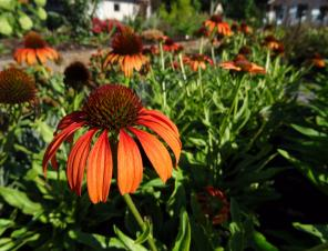 Tangerine Dream Coneflower