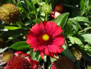 Mesa Red Blanket Flower