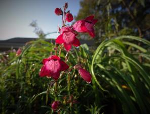 Carillo Red Beardtongue
