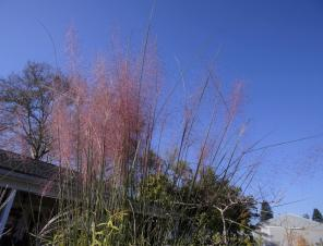 Fast Forward Muhly Grass | Ryeland Gardens