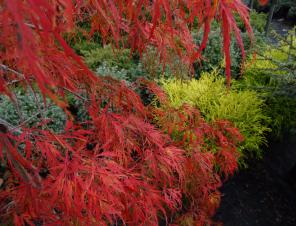 Viridis Japanese Maple in fall color | Ryeland Gardens