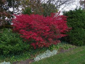 Burning Bush in fall color | Ryeland Gardens