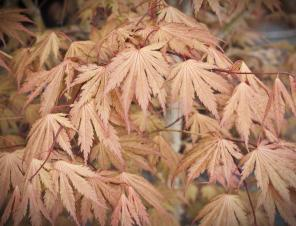 Ariadne Japanese Maple | Ryeland Gardens