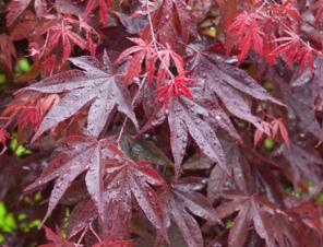 Bloodgood Japanese Maple | Ryeland Gardens