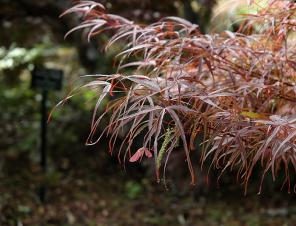 Hubb's Red Willow Japanese Maple | Ryeland Gardens