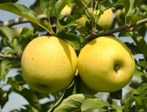 Golden Delicious Apple | Ryeland Gardens