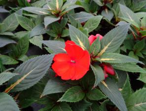 Spreading Tropical Orange Sunpatiens | Ryeland Gardens