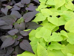 Sweet Georgia Heart Purple (L) & Heart Light Green (R) Sweet Potato Vine | Ryeland Gardens
