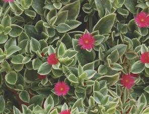 Mezoo Trailing Red Livingston Daisy | Ryeland Gardens