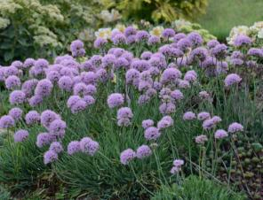 Blue Eddy Ornamental Onion | Ryeland Gardens