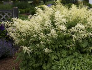 Common Goat's Beard | Ryeland Gardens