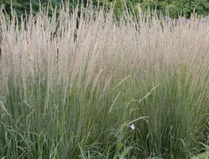 Karl Foerster Feather Reed Grass | Ryeland Gardens