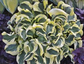 Mini Skirt Miniature Hosta | Ryeland Gardens