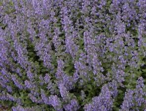 Walker's Low Catmint | Ryeland Gardens