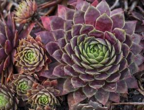 Peggy Hens & Chicks | Ryeland Gardens