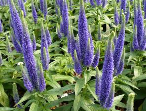 Royal Candles Speedwell | Ryeland Gardens
