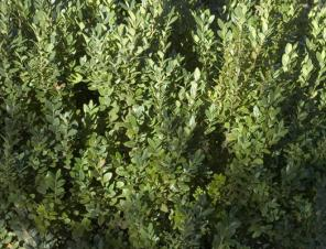 Green Mountain Boxwood | Ryeland Gardens