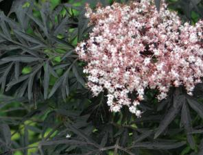 Black Lace Elderberry | Ryeland Gardens