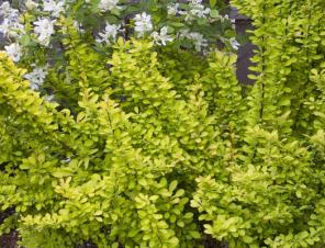 Sunjoy Gold Pillar Barberry | Ryeland Gardens
