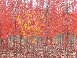 Red Sunset Maple | Ryeland Gardens