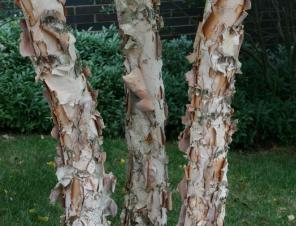 Dura-Heat River Birch | Ryeland Gardens