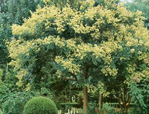 Golden Rain Tree | Ryeland Gardens