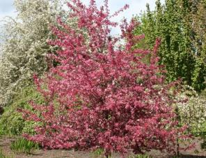 Royal Raindrops Crabapple | Ryeland Gardens