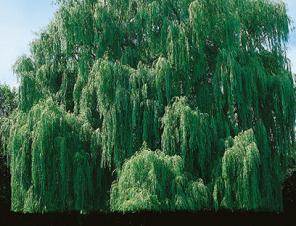 Niobe Weeping Willow | Ryeland Gardens