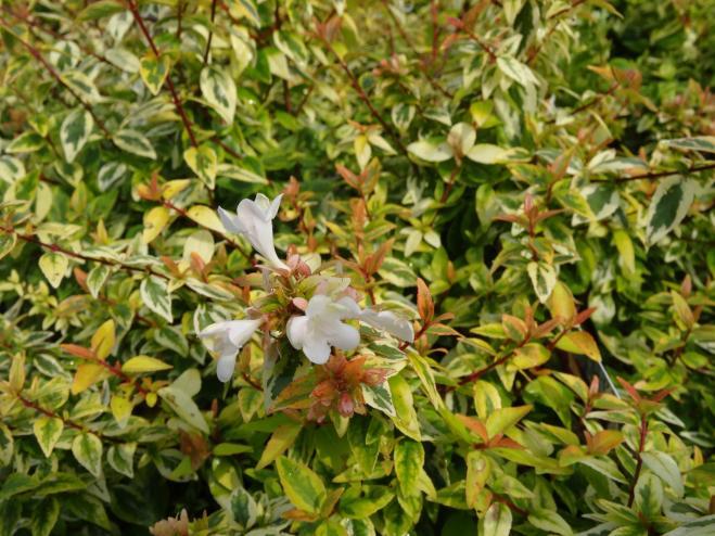 Abelia Abelia X Grandiflora Ryeland