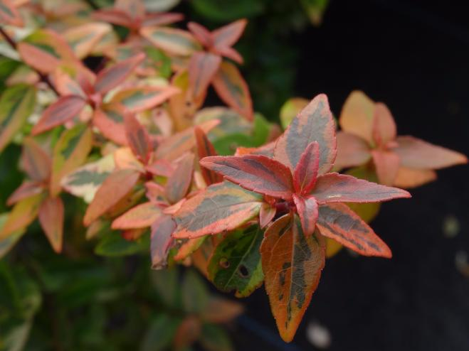 Kaleidoscope Abelia in fall color | Ryeland Gardens