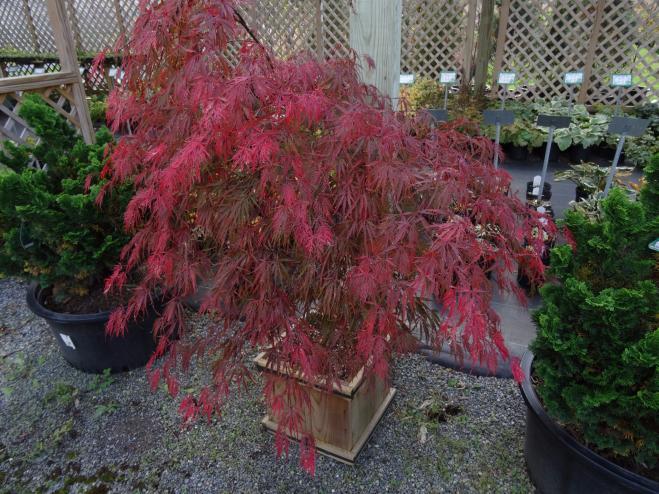Japanese Maple Acer Palmatum Dissectum Ryeland