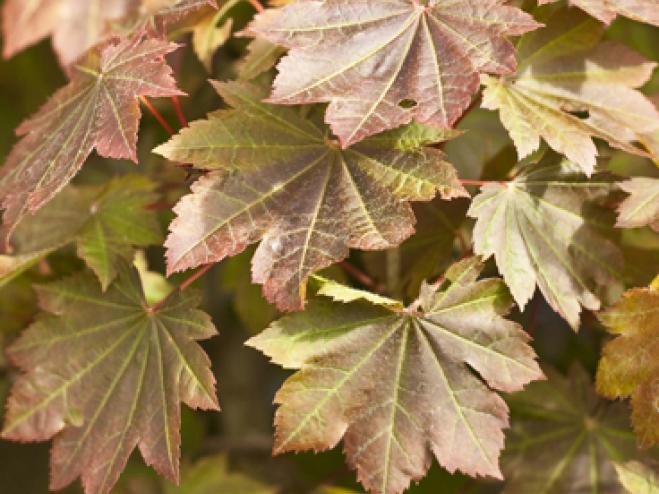 Fullmoon Maple Acer Japonicum Ryeland