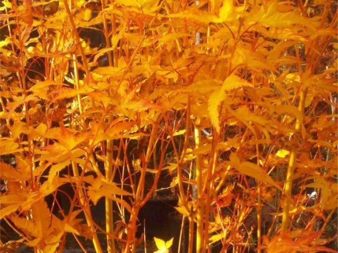 Bihou Japanese Maple | Ryeland Gardens