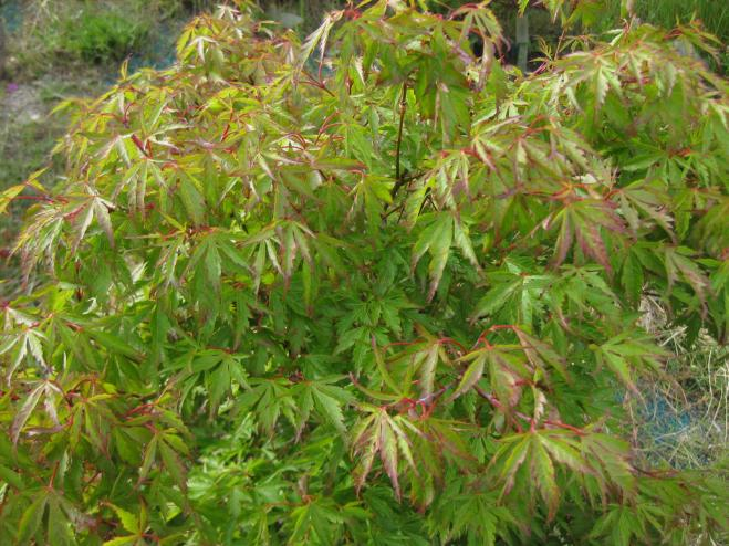 Cynthia's Crown Jewel Japanese Maple | Ryeland Gardens