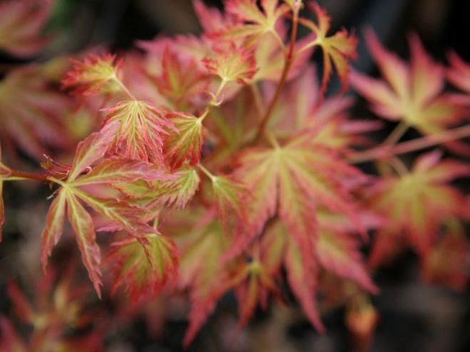 Crimson Carole Japanese Maple | Ryeland Gardens