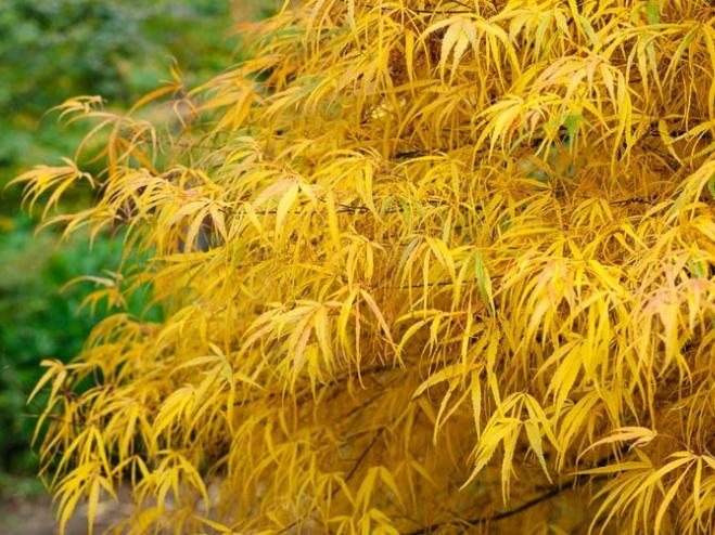 Harp Strings Japanese Maple | Ryeland Gardens
