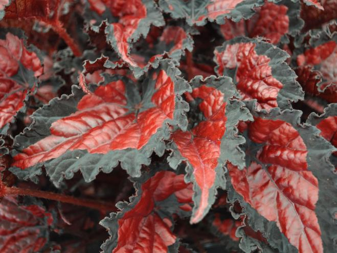 Shadow King Black Cherry Rex Begonia | Ryeland Gardens