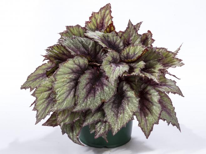 Shadow King Rose Frost Rex Begonia | Ryeland Gardens
