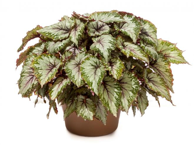 Shadow King Spearmint Rex Begonia | Ryeland Gardens
