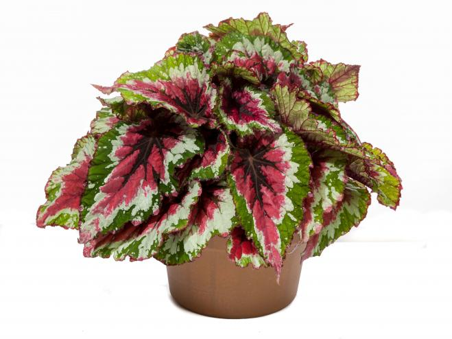 Shadow King Strawberry Sherbet Rex Begonia | Ryeland Gardens
