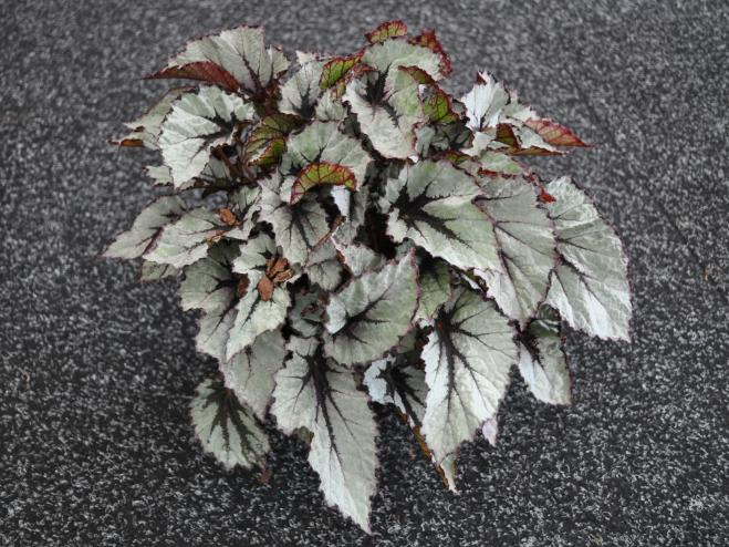 Shadow King Wintergreen Rex Begonia | Ryeland Gardens