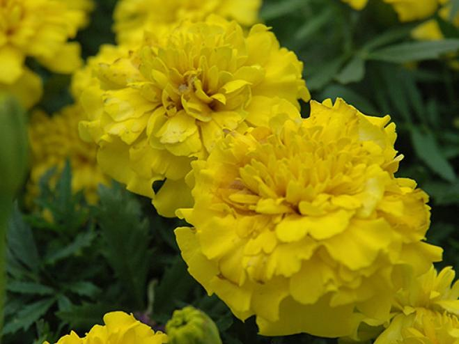 Bonanza Yellow French Marigold | Ryeland Gardens