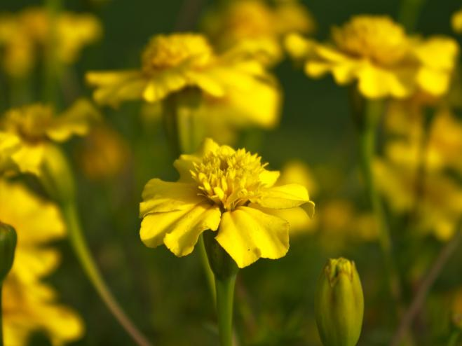 Disco Yellow French Marigold | Ryeland Gardens